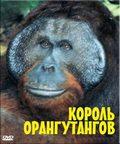 BBC: The Natural World. The Orangutan king - wallpapers.
